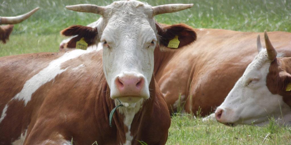 Behornte Kuh auf der Weide