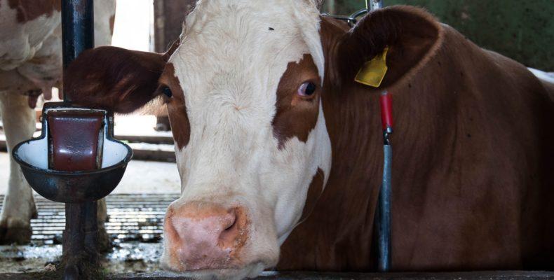 angebundene Kuh im Stall