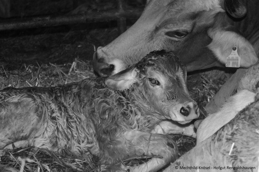 Mutter und Kalb kuschelnd im Stroh