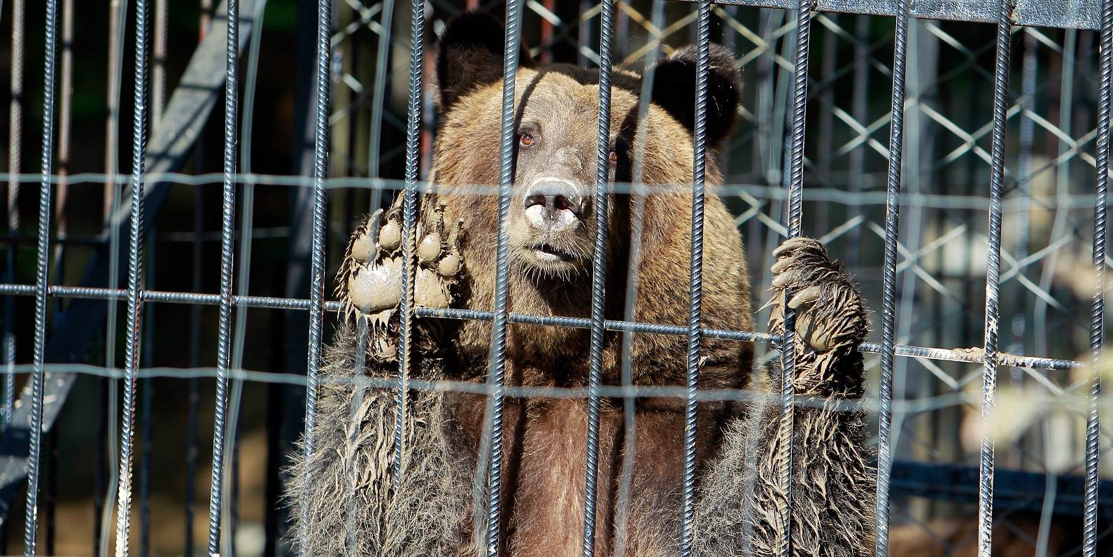 bears kept in cages cannot pursue their natural needs