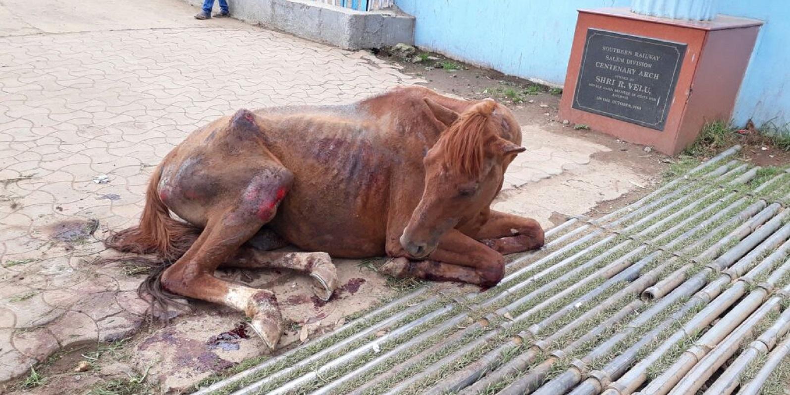 Streunende Pferde in Indien: Häufig werden Tiere imStraßenverkehr verletzt