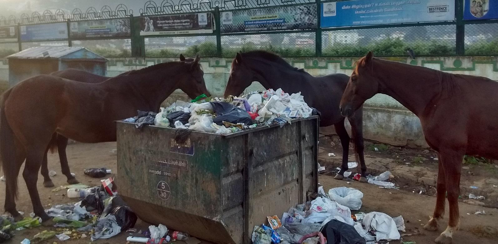 Streundene Pferde suchen im Müll nach Futter