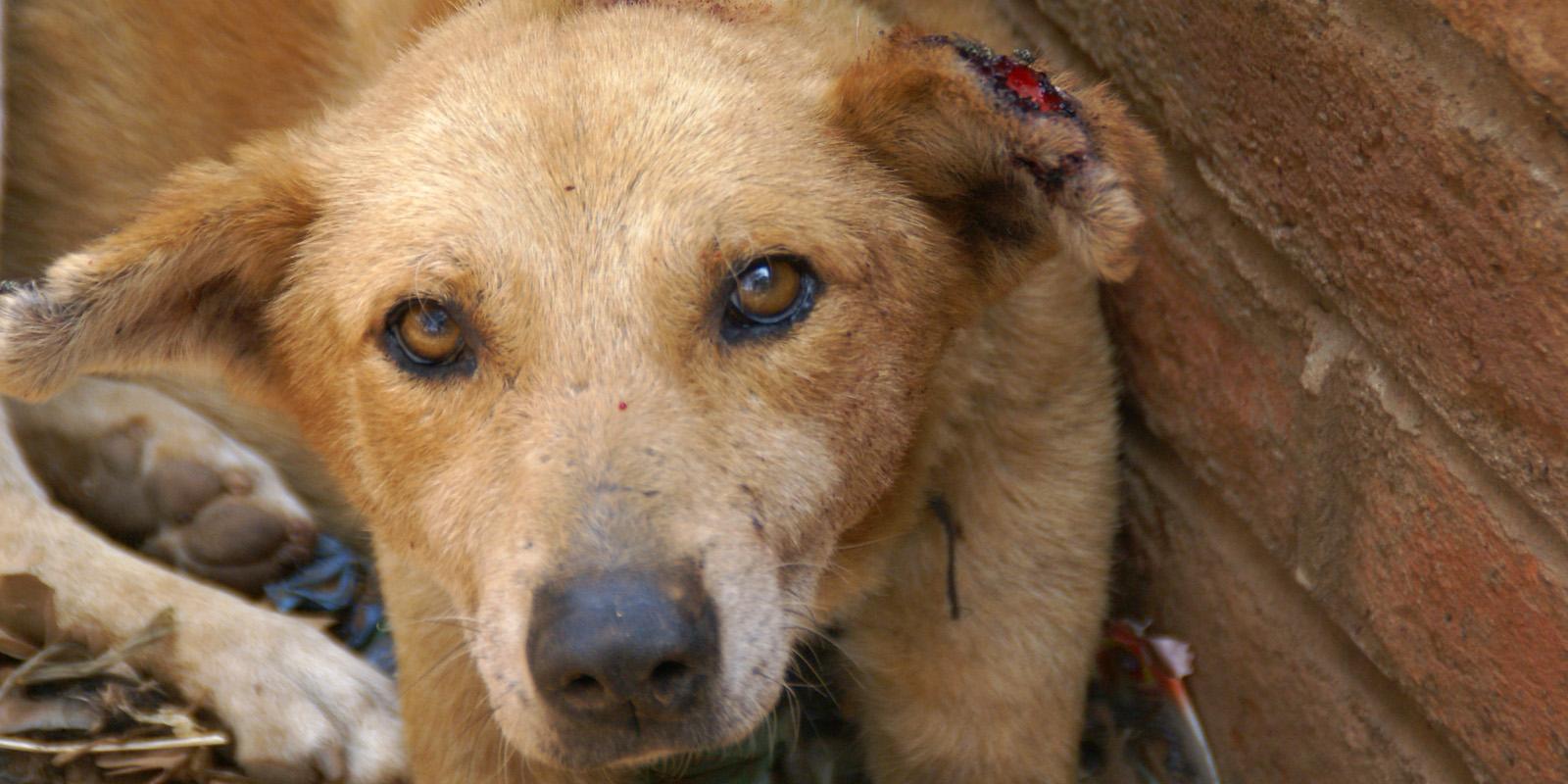 Streunerhund in Malawi mit Ohrwunde