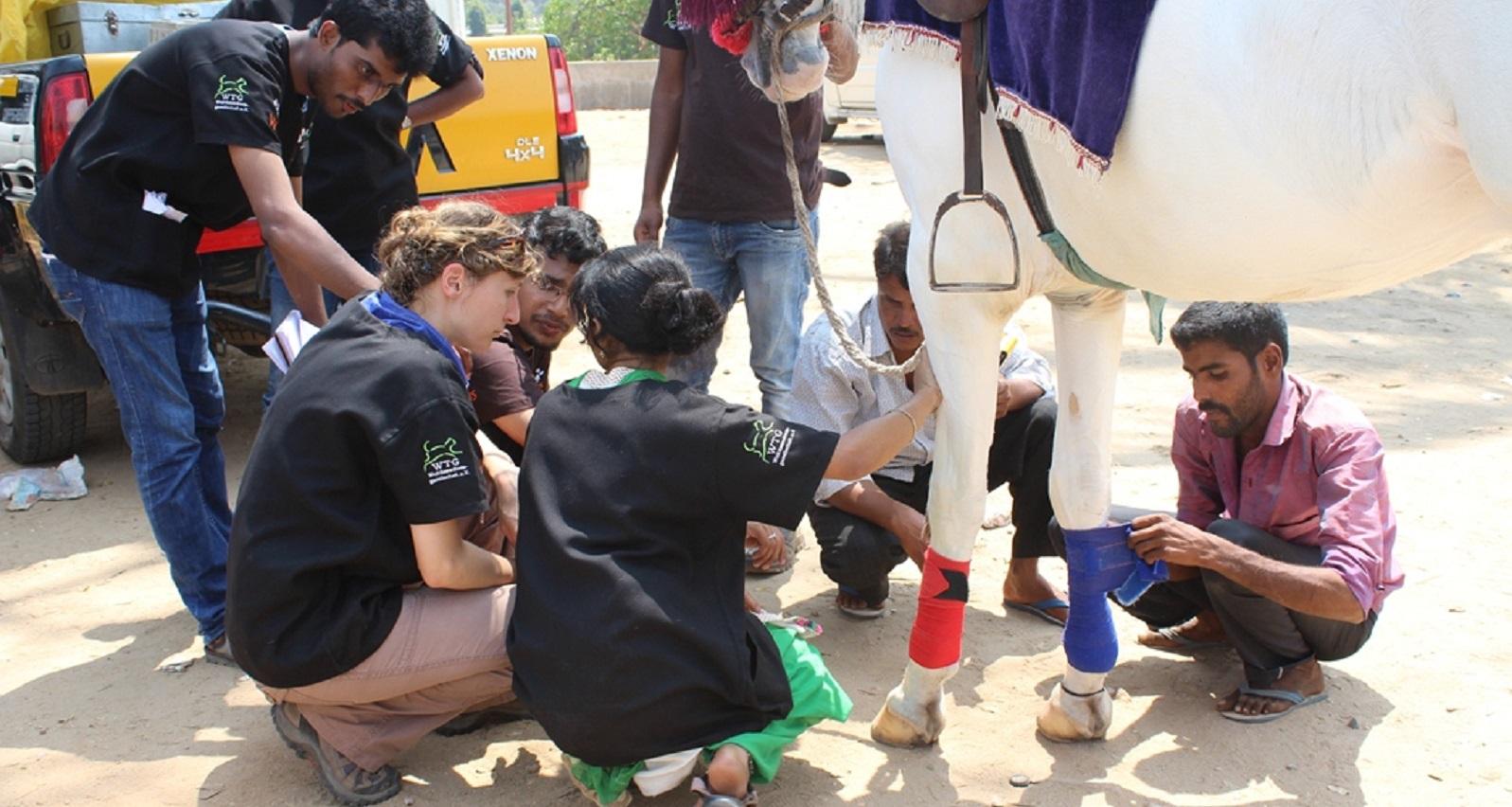 Streunende Pferde in Südindien: Auch Kutschpferde werden tiermedizinisch versorgt