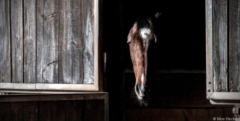 Pferd schaut aus dem Stall