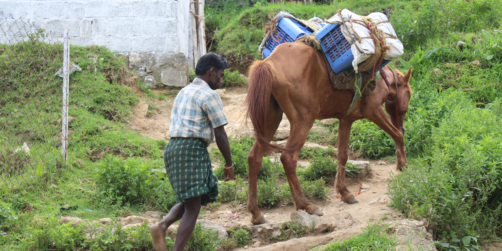 Pferde werden in Indien in erster Linie als Lasten- oder Kutschpferde eingesetzt