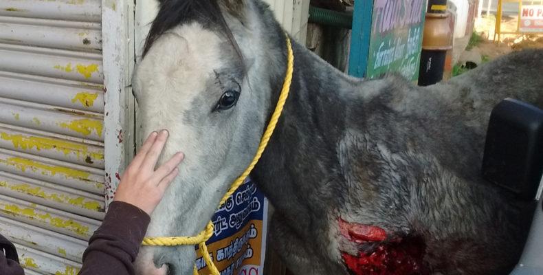 Streunendes Pferd mit schlimmer Verletzung, Indien
