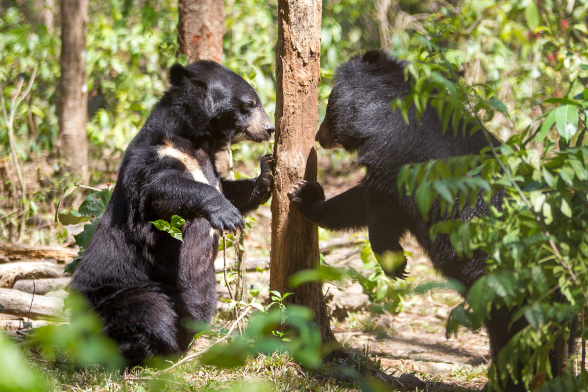 tierschutznews-free-the-bears-gallebaeren-vietnam