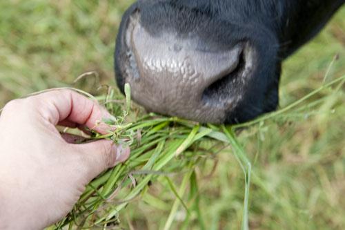 Kuh wird mit Gras aus der Hand gefüttert