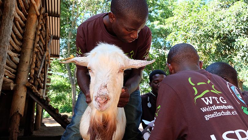 Stipendiaten untersuchen eine Ziege