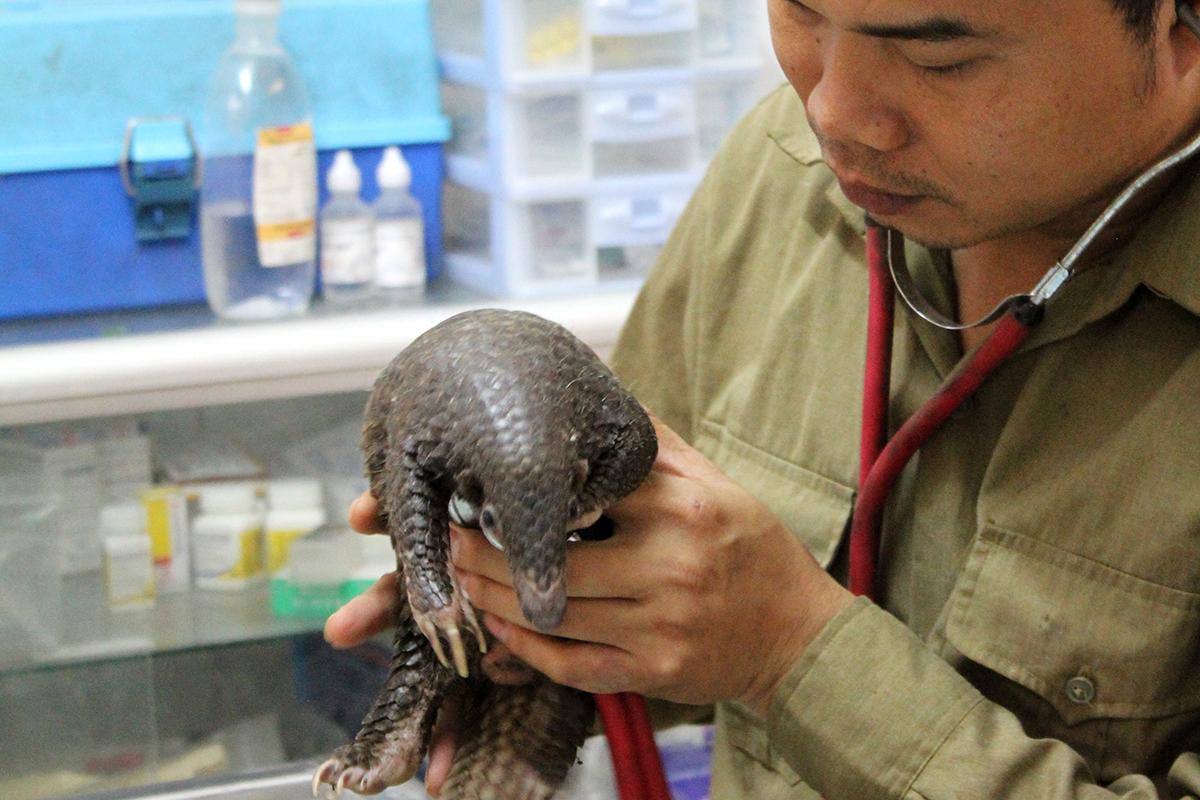 Ein Schuppentier wird in der Klinik versorgt
