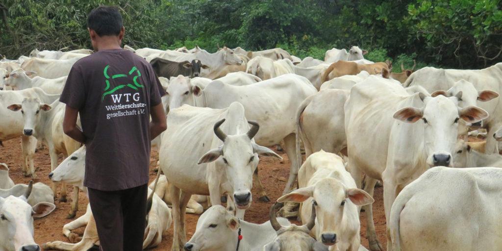 So wie diese Rinder sind tausende Tiere von der Flut betroffen