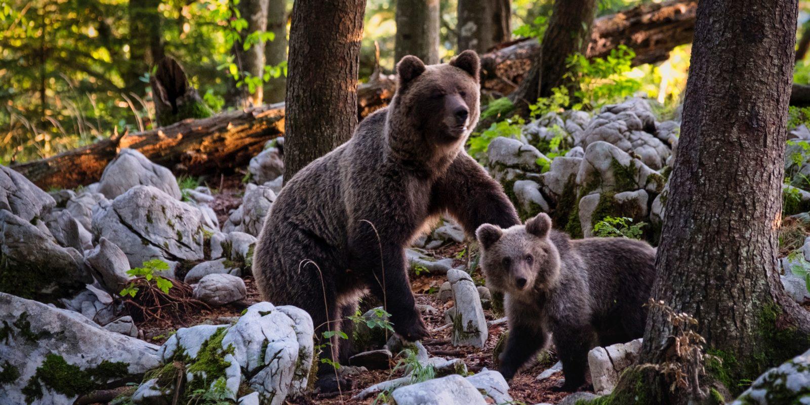 Der Bärenabschuss ist in Rumänien von der Regierung legitimiert