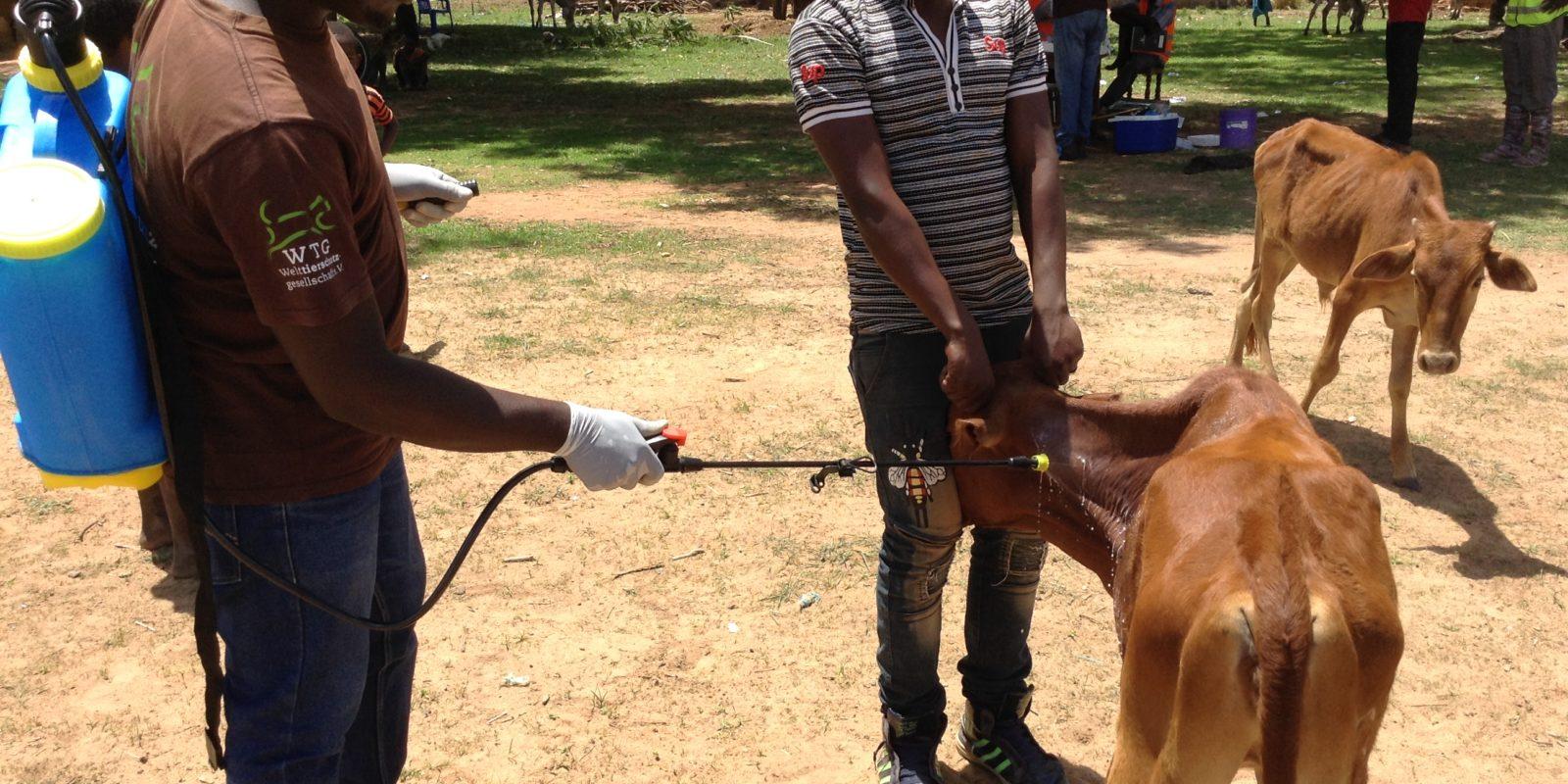 Ein Rind wird gegen Parasiten behandelt