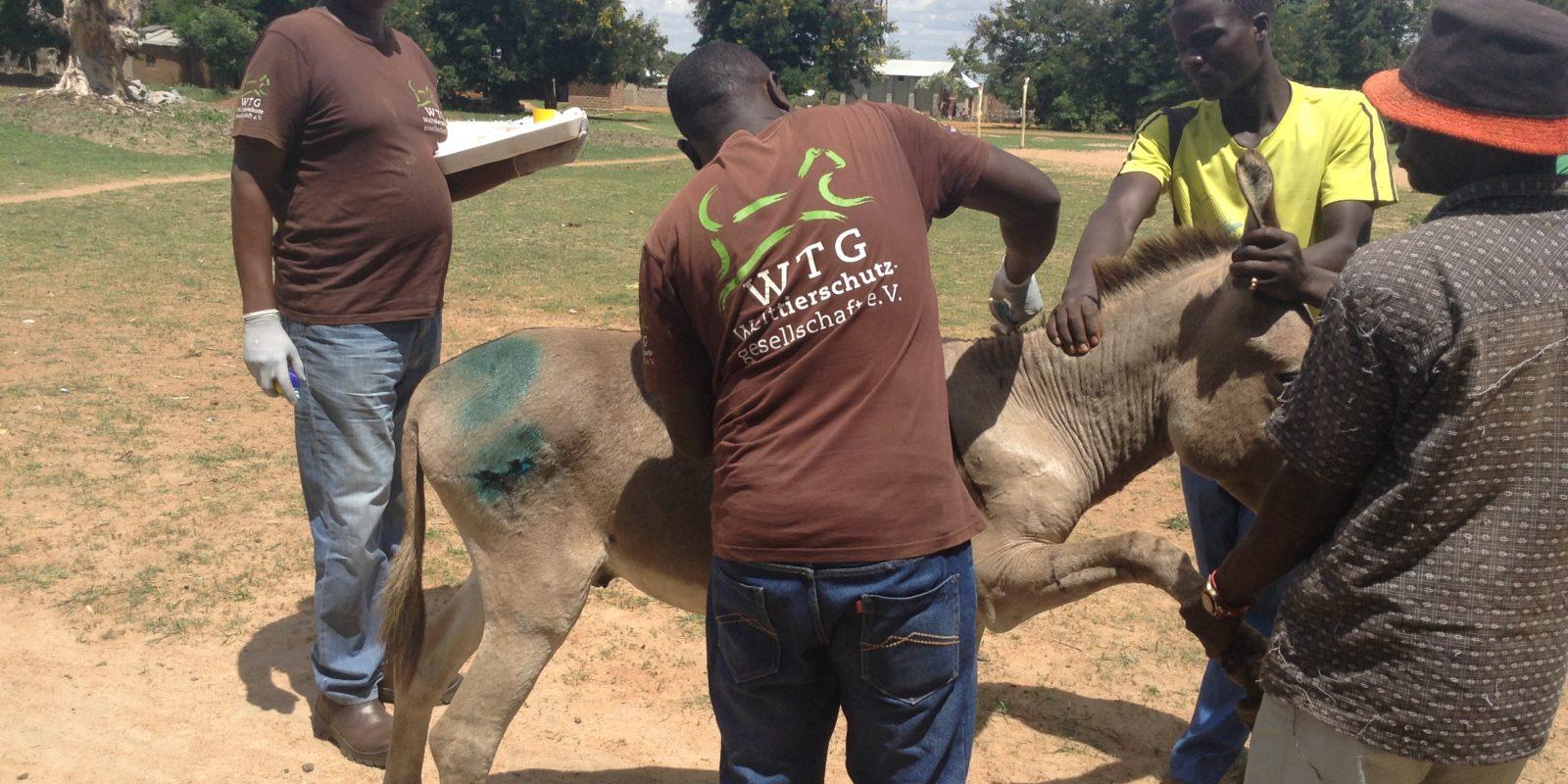 Wundbehandlung bei einem Esel