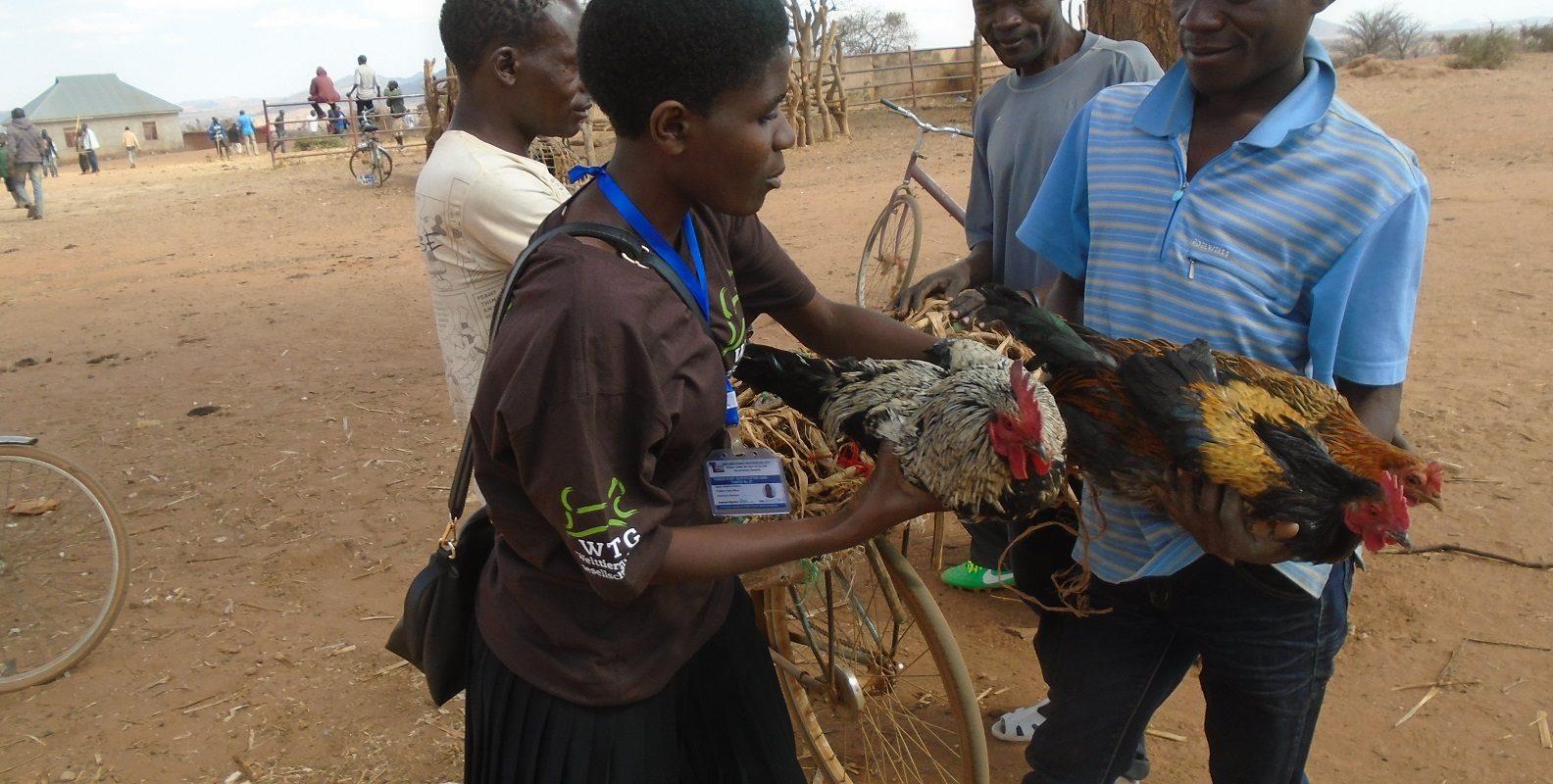 Tiermärkte: Hühner werden an Fahrrädern festgebunden transportiert