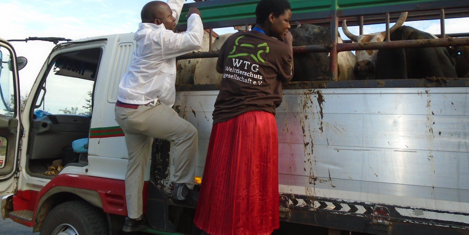 Das Team inspiziert einen mit Rindern beladenen LKW, der zu einem der Tiermärkte unterwegs ist