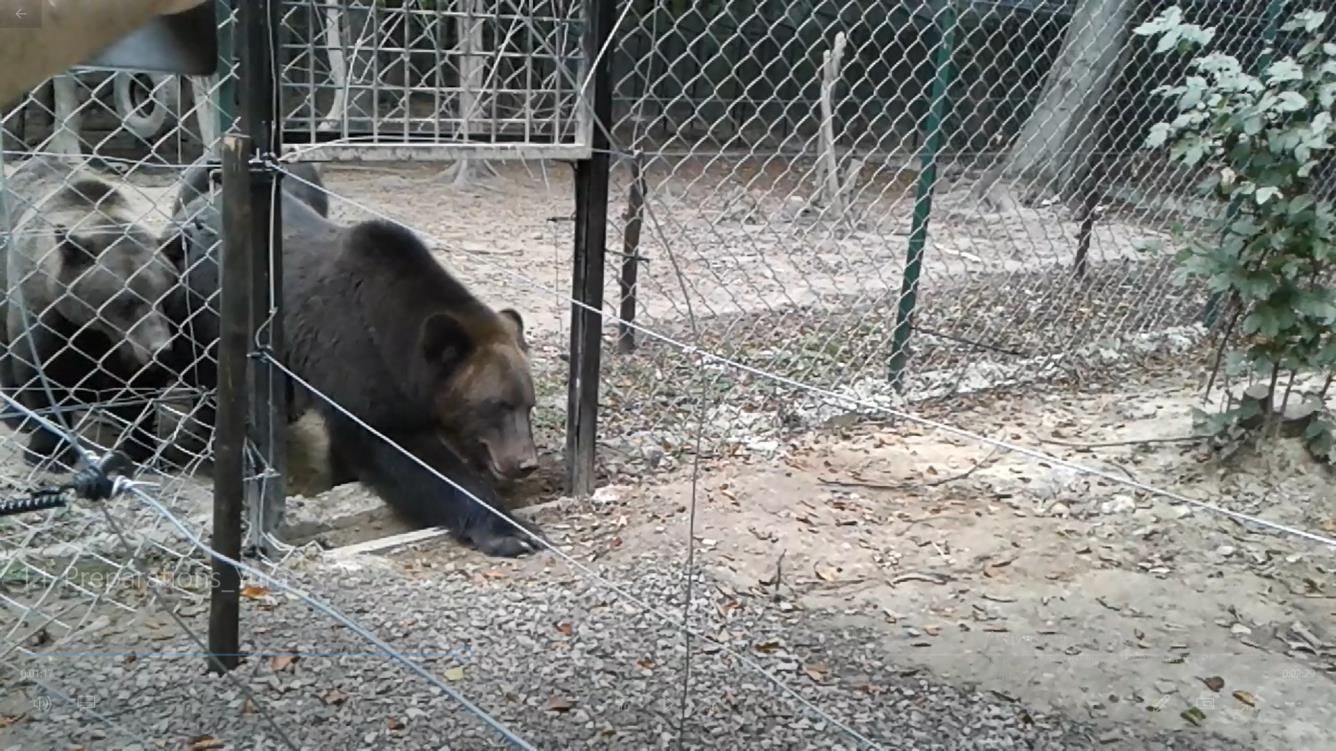 Der Pool ist bei den Bären sehr beliebt