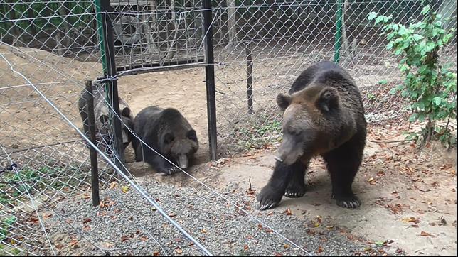 Die Bären nähern sich dem neuen Gehege an
