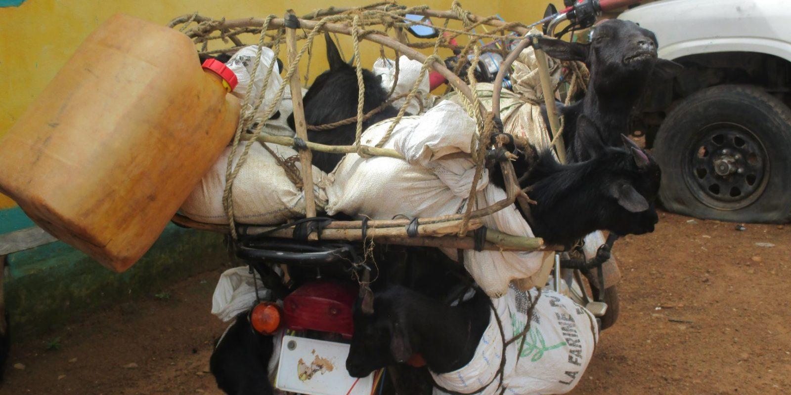 TIERÄRZTE WELTWEIT in Liberia: Ziegen werden tierschutzwidrig transportiert