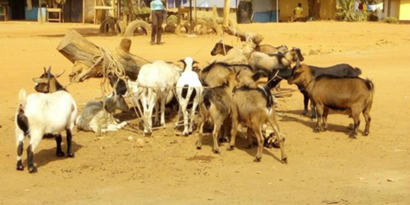Die meisten der 1,6 Millionen Nutztiere in Liberia sind Ziegen und Hühner
