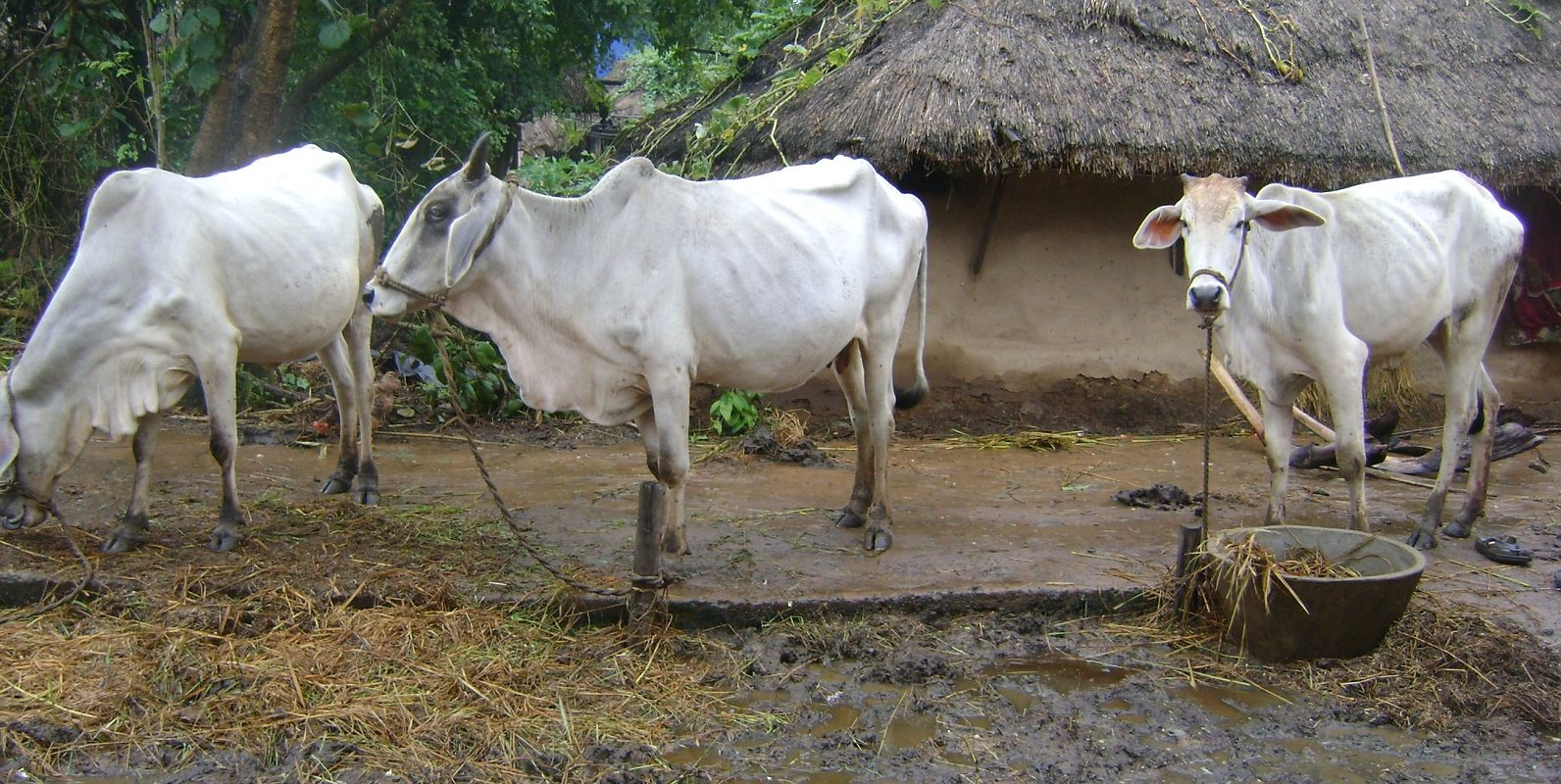 Durch fehlende Nahrung nach der Flut in Indien sind viele Tiere stark geschwaecht