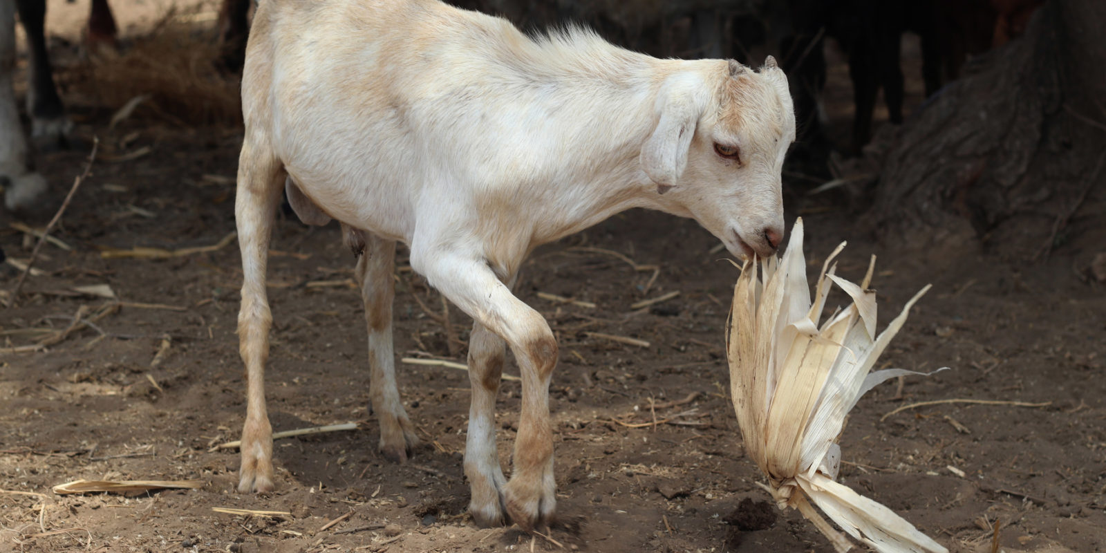 Goat affected by natural catastrophe (drought) in Tanzania