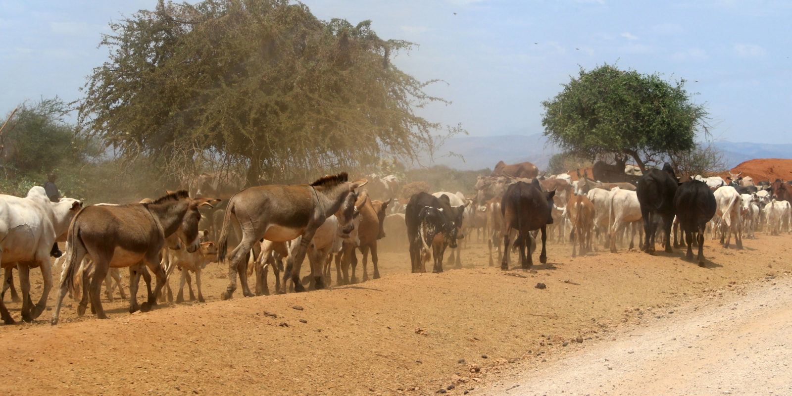 Prevention work in Tanzania: The issue of steady growth of the herds is also approached.