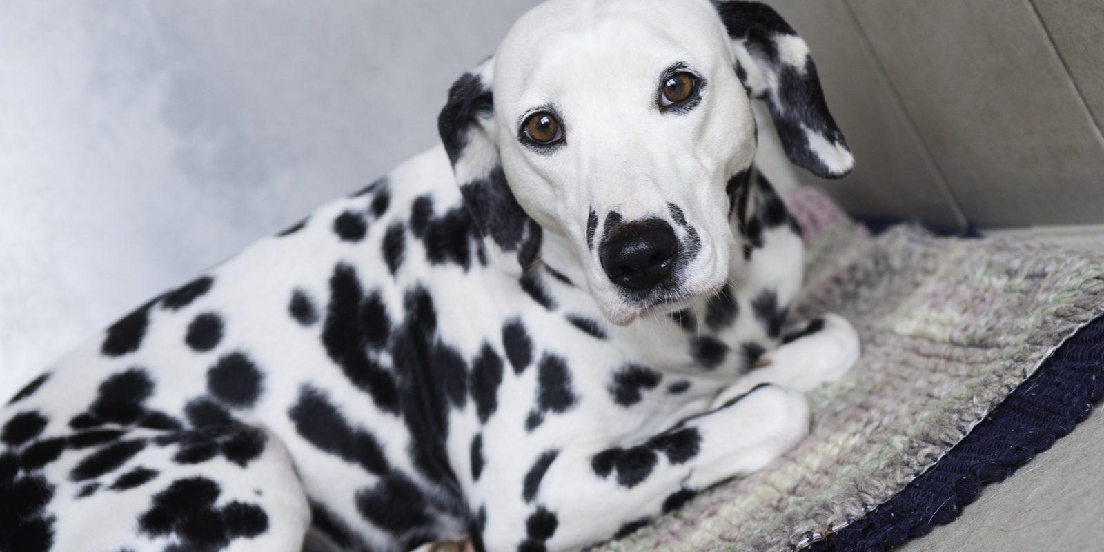 Tiere im Film: 101 Dalmatiner löste einen Hype um die Hunde aus