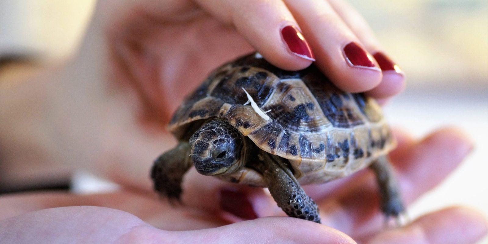 Tiere im Film: Viele Schildkroeten werden einfach aus der Wildnis entnommen