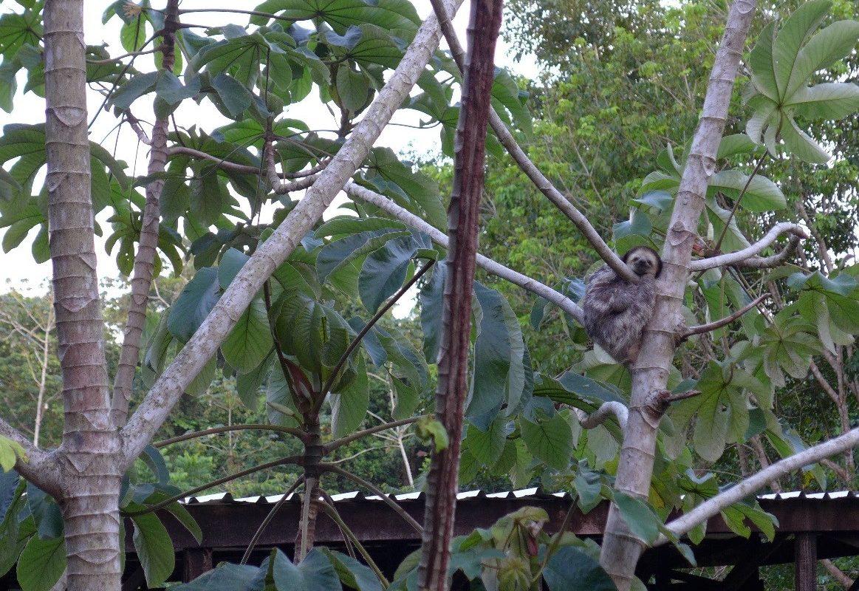Ein Faultier auf dem Gelände des Schutzzentrums in Suriname