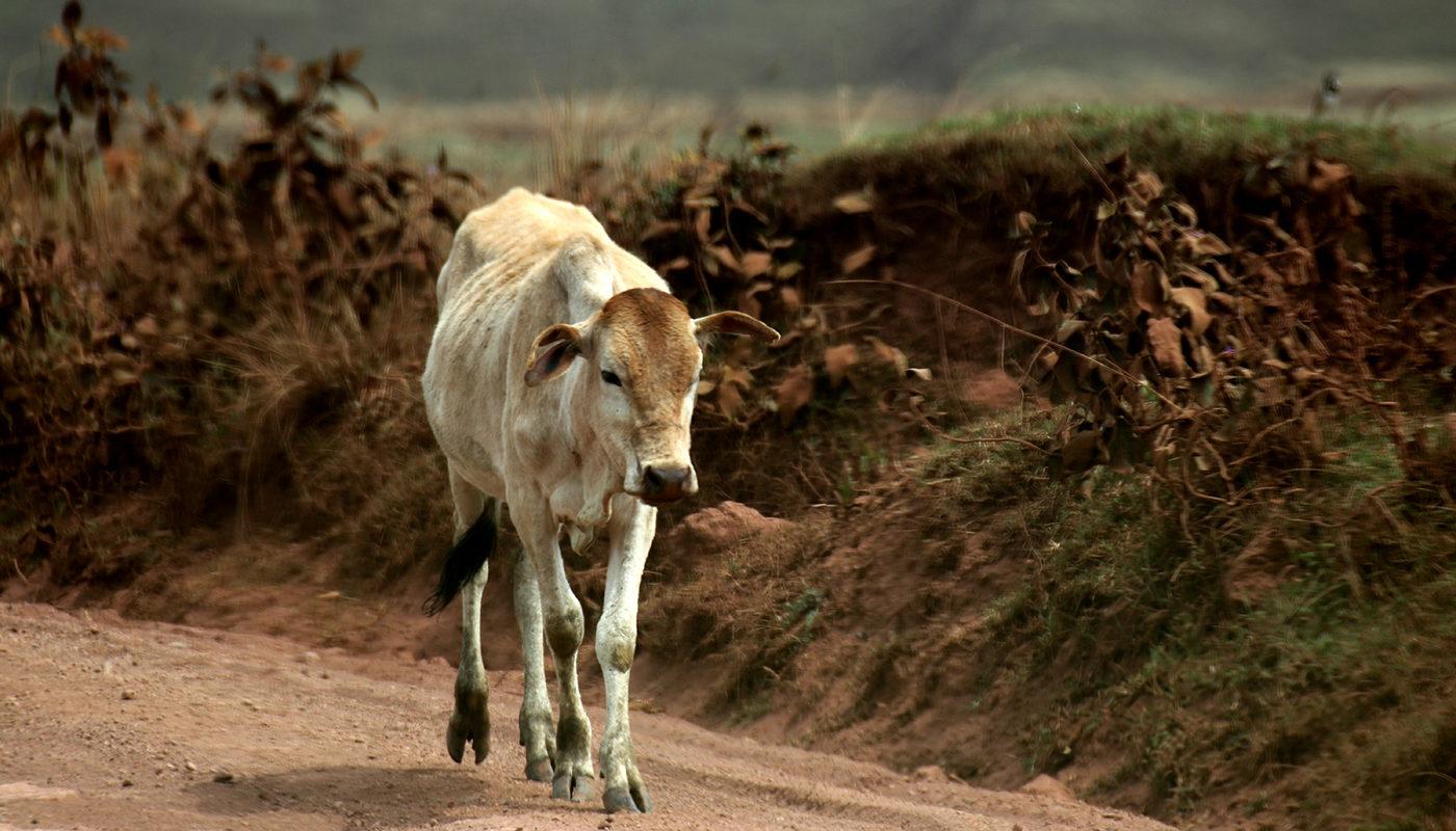 Leben mit Naturkatastrophen. Die Duerre zehrt an den Kraeften der Nutztiere.