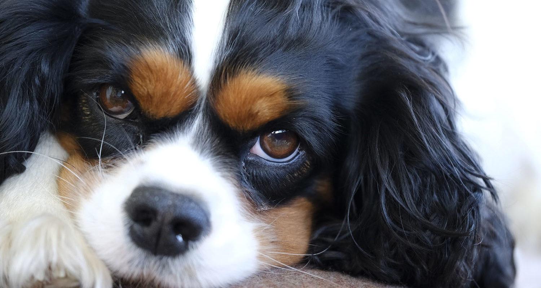 Qualzucht: Der Cavalier King Charles Spaniel ist von vielen Erbkrankheiten betroffen