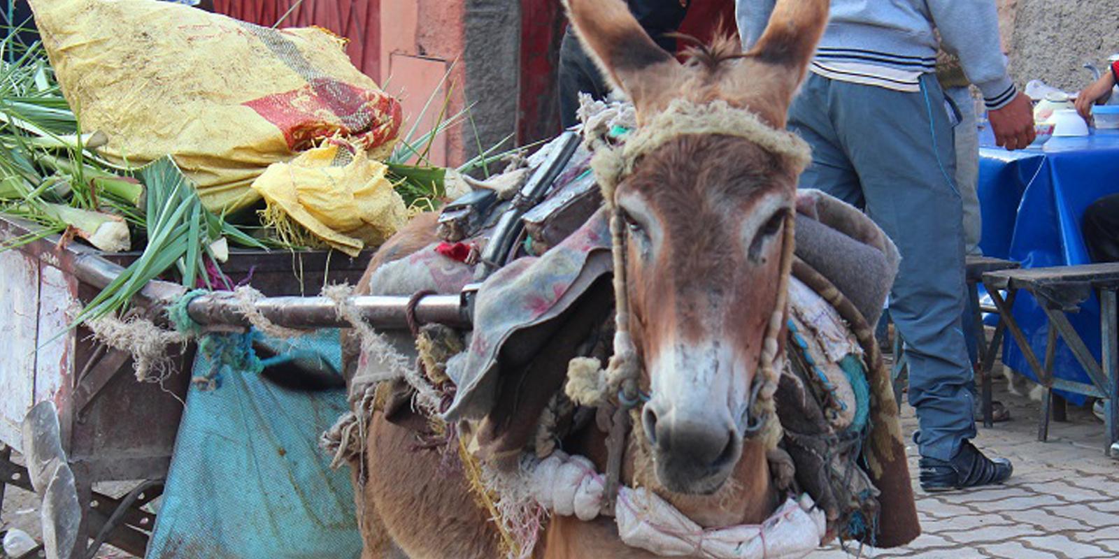 Tierwohl in der Entwicklungszusammenarbeit: Esel und Pferde werden als Lasttiere eingesetzt