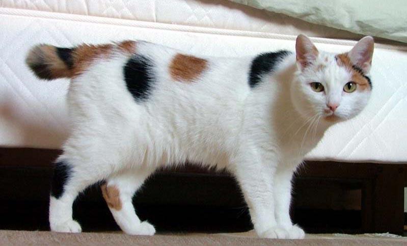 Qualzucht: schwanzlose Katzenarten wie die Japanese Bobtail sind von körperlichen Einschränkungen betroffen.
