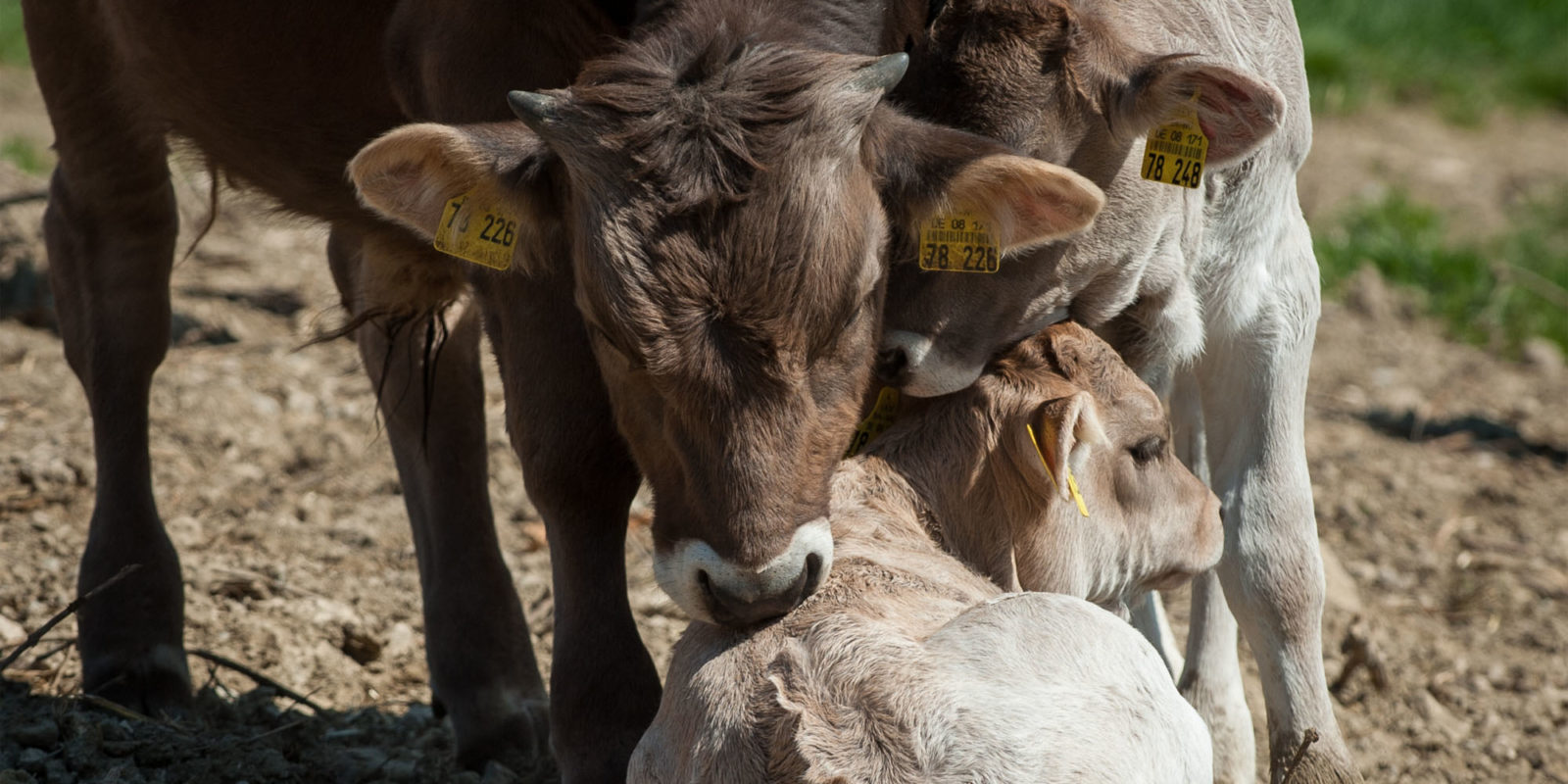 Muttergebundene Kälberaufzucht. Die Trennung von Kuh und Kalb erfolgt in kleinen Schritten.