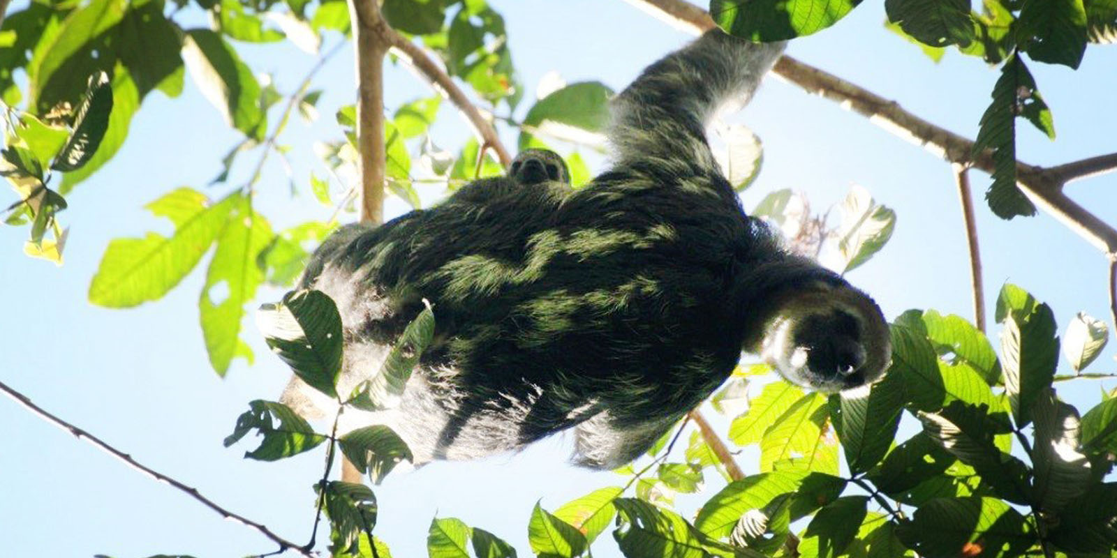 Faultier im Mutterglück: Junge Faultiere haben einen großen Bedarf an Körperkontakt