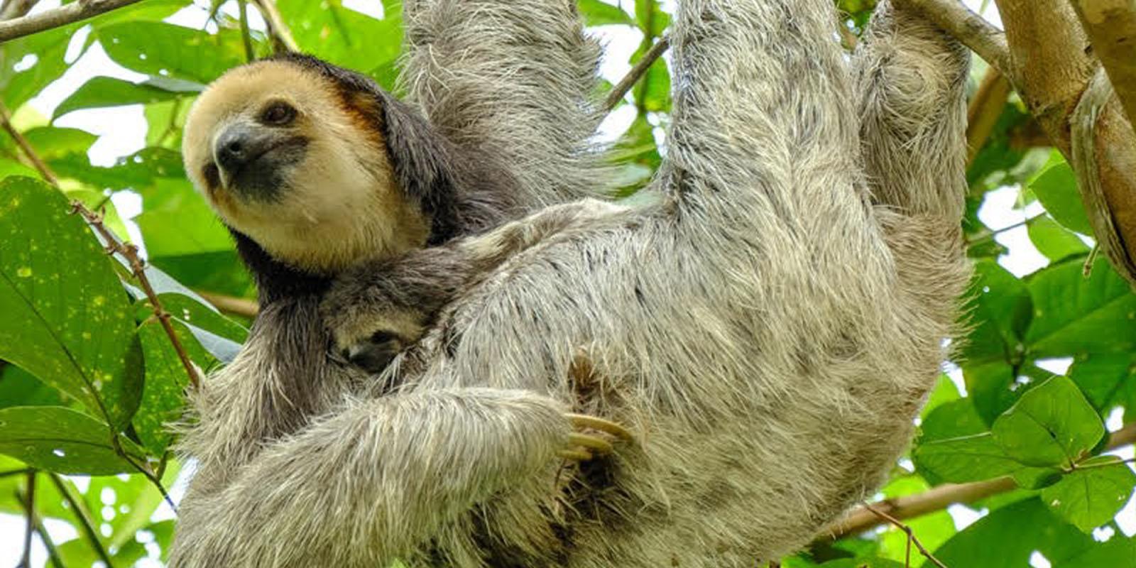 Faultier im Mutterglück: Das natürliche Paarungsverhalten wird unmittelbar nach der Auswilderung wieder ausgelebt.