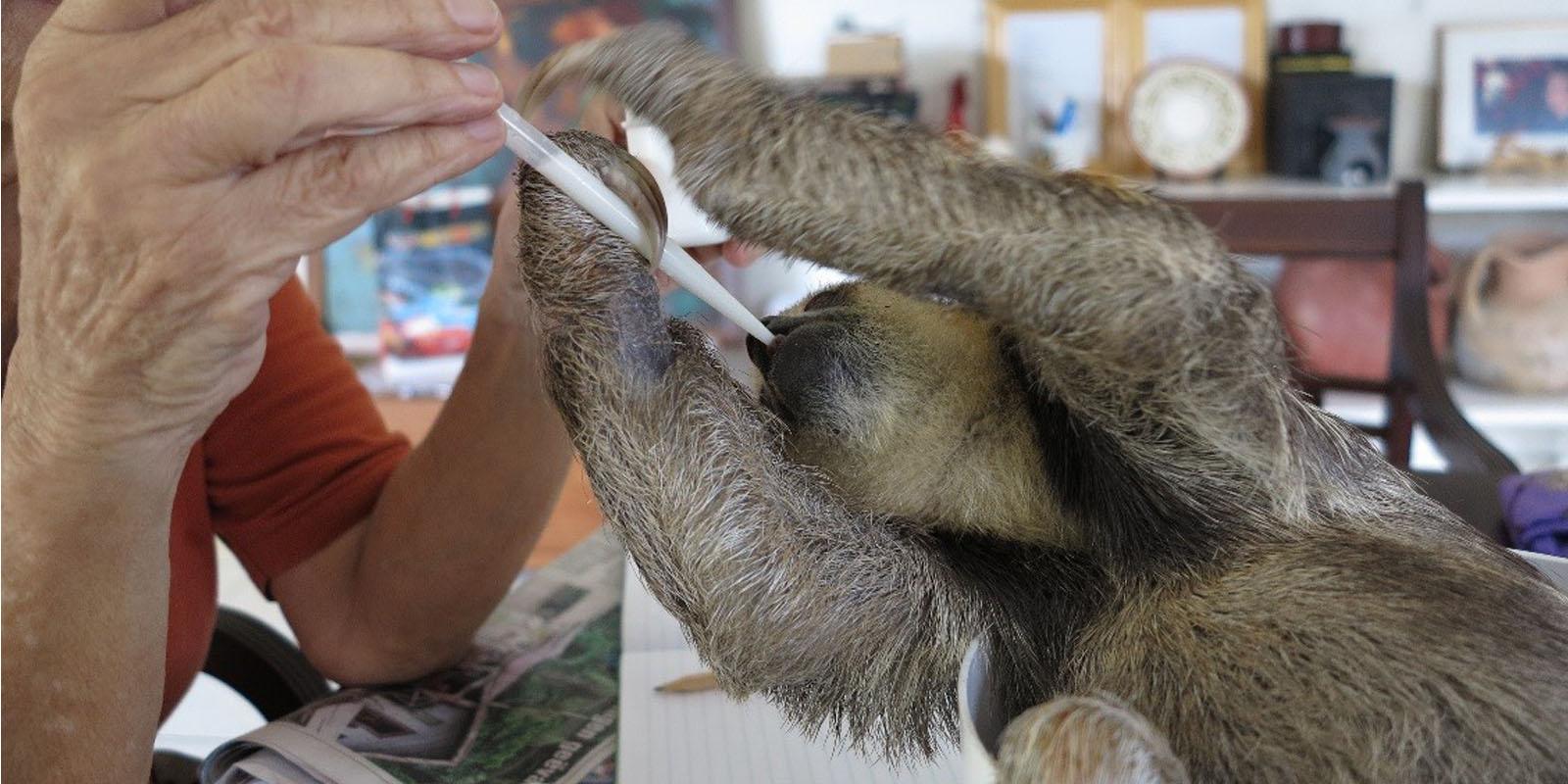 Das verwaiste Faultierbaby wird im Schutzzentrum aufgepäppelt