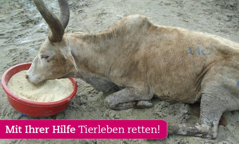 tansania-tierhilfe-flut-rind-futter