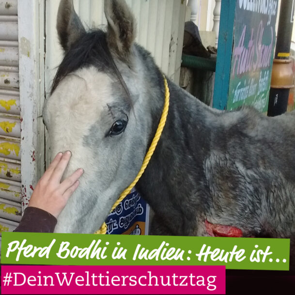 pferd-bodhi