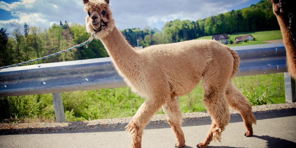 Alpaka Als Haustier Halten Wtg Welttierschutzgesellschaft