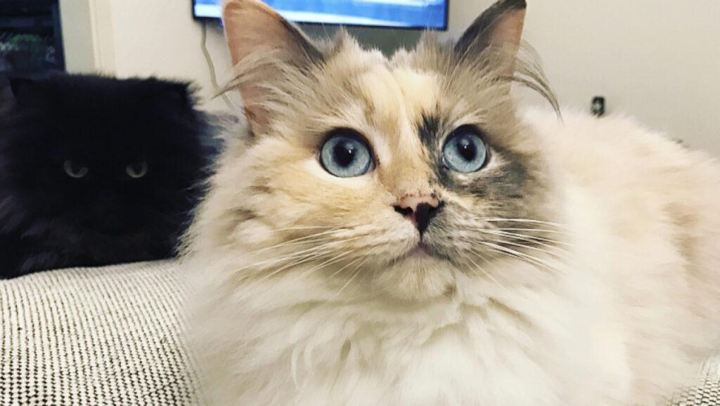 """""""Ich bin Inge eine Ragdoll Katze und bin ein sehr liebevolles Geschöpf"""""""