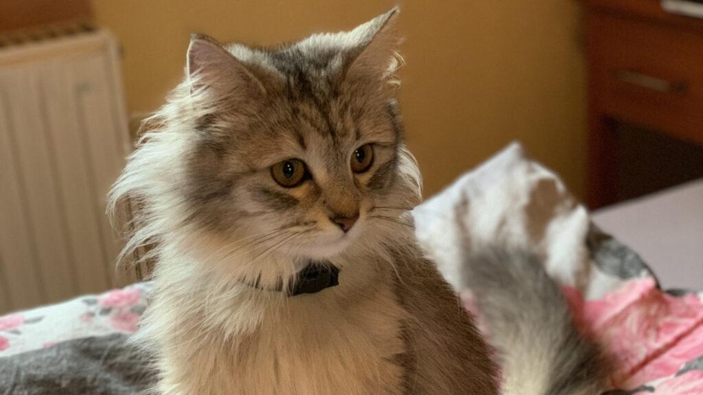 Die hübsche Mika ist eine Maine Coon Katze und lebt in Hersbruck