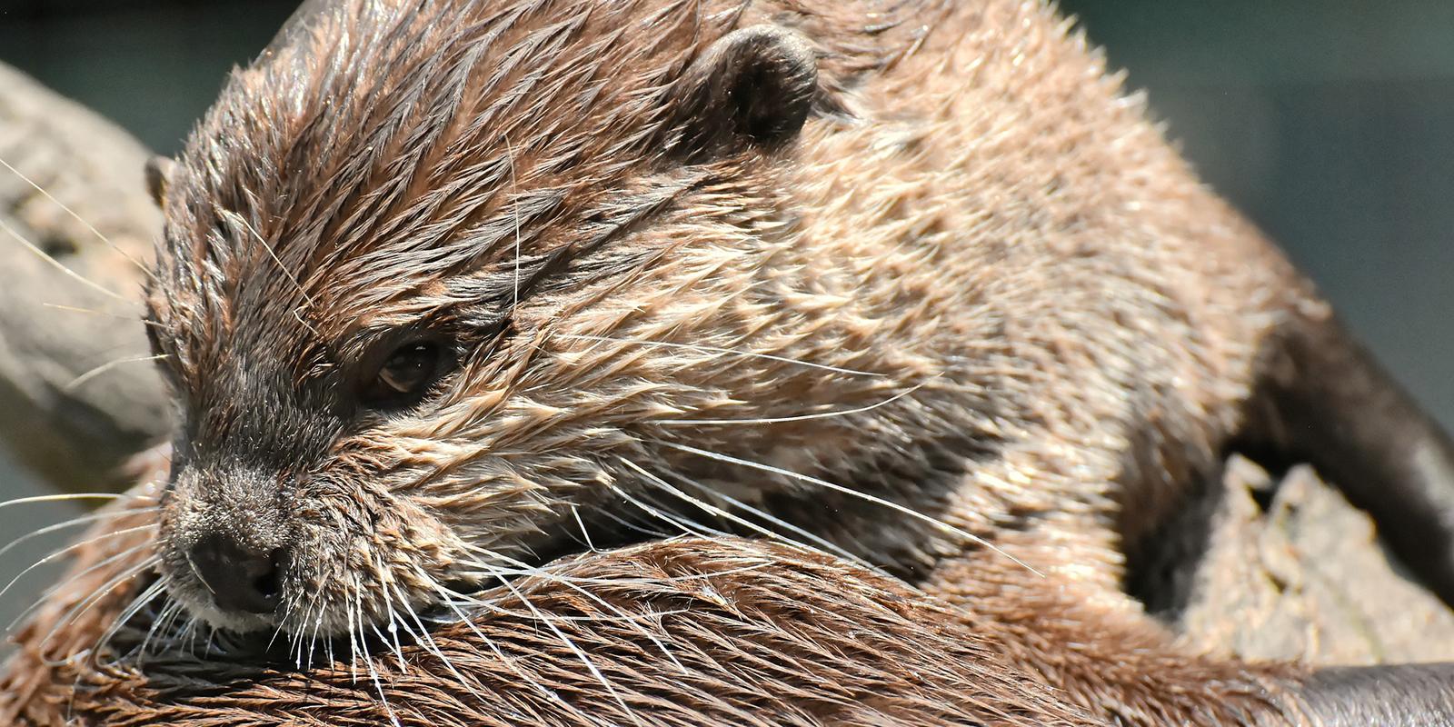 Otter als Haustiere: Otter sind anspruchsvolle Tiere