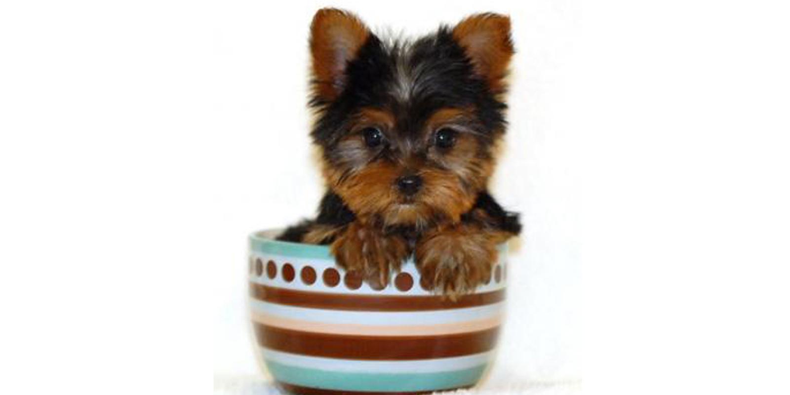 Qualzucht im Fokus: Teacup-Hunde