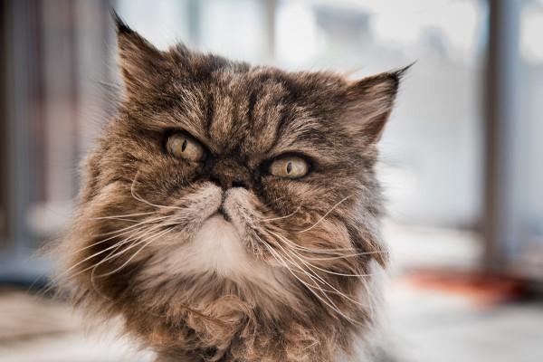 Qualzucht: Der Trend zu kranken Katzen