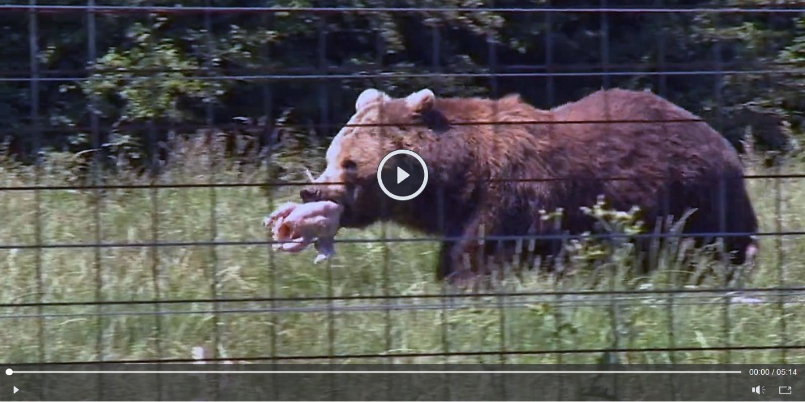 WTG-Nothilfefonds: Für die Braunbären in Rumänien