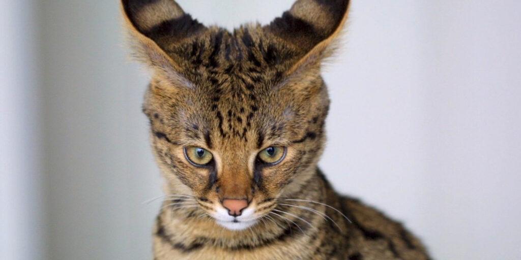 Savannah- und Bengalkatzen als Haustier halten? Bitte nicht!