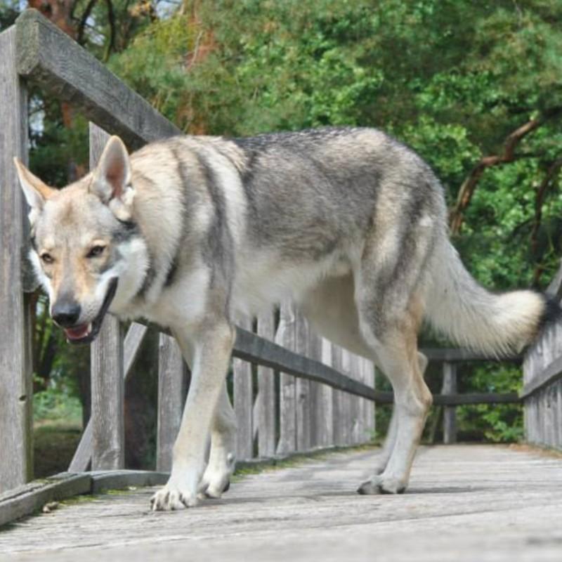 Wolfshybriden als Haustier halten? Bitte nicht!